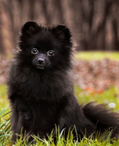 Pomeranian dog (Wild Blue Cherry Infinity Black)