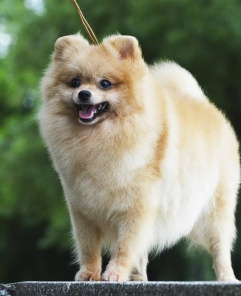 Pomeranian dog (Wild Blue Cherry Filia)