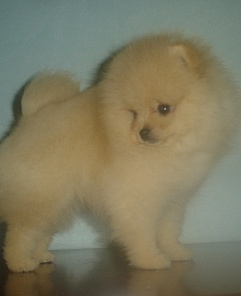 Pomeranian dog (Wild Blue Cherry Carte'Dor)